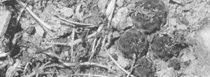 МАЛЕНЬКИЙ, ЭФФЕКТНЫЙ И ОЧЕНЬ ПРИВЛЕКАТЕЛЬНЫЙ КАКТУС Sulcorebutia rauschii G. Frank