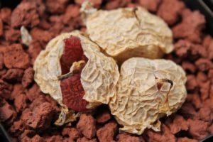 Коннофитумы в природе. Часть 1. Африканские карлики
