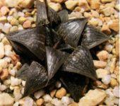 Haworthia joleneae Hayashi (Х. Джолин)