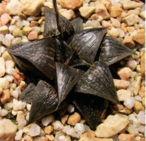Новые имена видов из рода Хоуэртия. Часть II