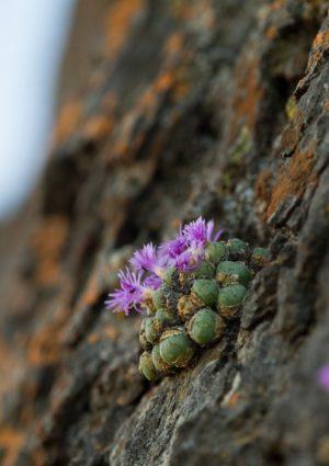Конофитумы в природе: особенности произрастания. Часть 2