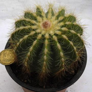 eriocactus-magnificus