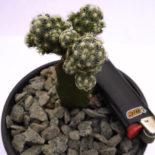 Mammillaria haudeana L777