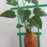 adenia-sp-digitate-leaf