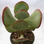 crassula-arborescens