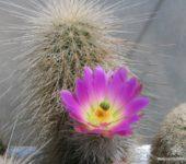 Echinocereus freudenbergeri