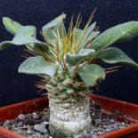 pachypodium-namaguanum-600