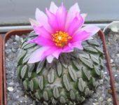Цветение Pelecyphora aselliformis