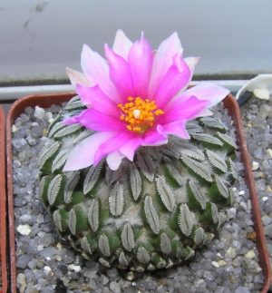 Раритеты кактусов пустыни Чиуауа. Часть I (Pelecyphora)