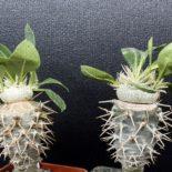 pachypodium-brevicaule-var-leucoxanthum-340