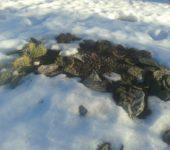 Зимовка в открытом грунте