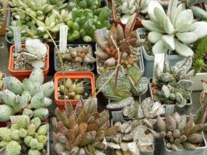 Род Адромискус (Adromischus) из семейства толстянковых (Crassulaceae)
