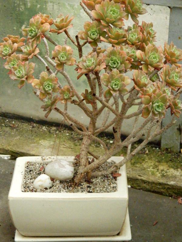 Aeonium decorum
