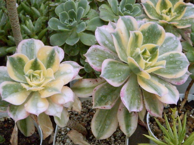 Aeonium percarneum f. variegata