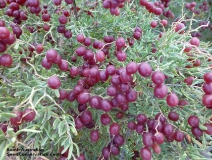 Nitraria billardierei