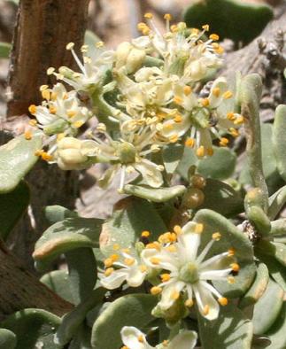 Nitraria (Селитрянка)