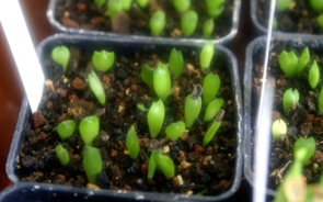 Проростки Whitesloanea crassa