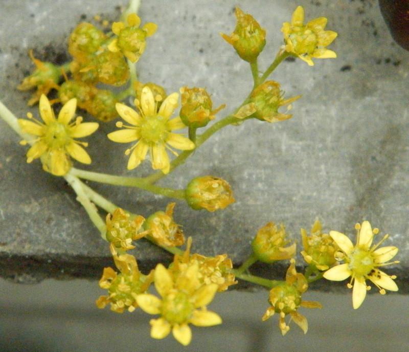 Цветки эониума