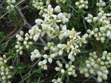 Цветущая ветвь Nitraria sibirica