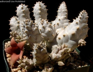 Whitesloanea crassa x Huerniopsis decipiens