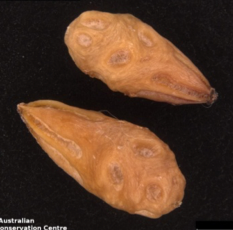 Nitraria billardierei: семена