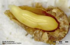 Nitraria billardierei: эмбрион