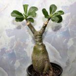Adenium sapp birx 1100