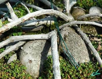 Клубневыдные корни Macleania cordifolia