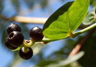 Плоды M. coccoloboides