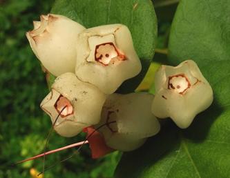 Плоды M. ericae