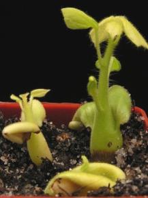 Проростки Sterculia rogersii
