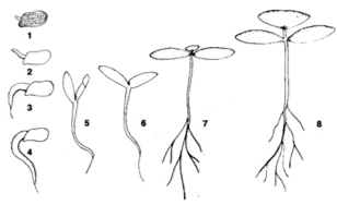 Процесс прорастания семени M. rupestris