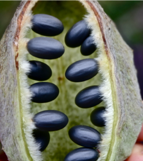Sterculia africana- созревший плод с семенами