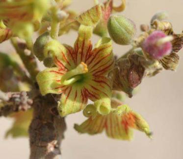 Sterculia africana: цветки