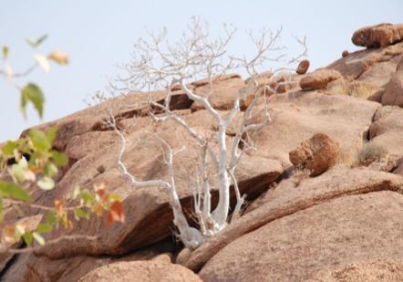Sterculia quinqueloba в местах обитания (Эронго, Намибия)