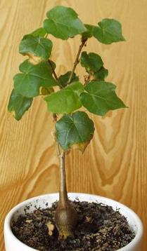 Юная Sterculia rhynchocarpa