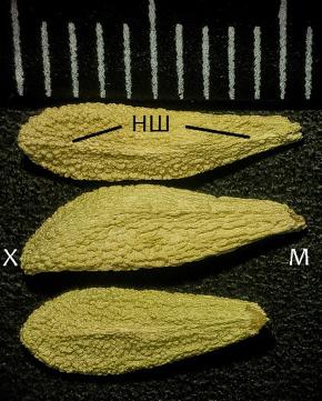 Структура насінин сукулентних представників родини Apocynaceae