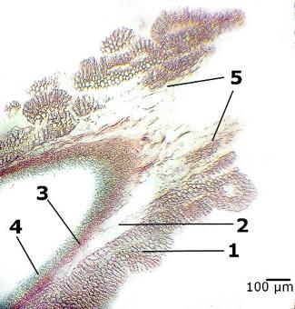 зона мікропіле