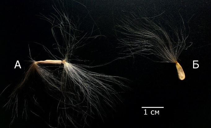 Загальний вигляд насіння A. obesum (А) та P. lamerei (Б) з присутнім анемохорним пристроєм