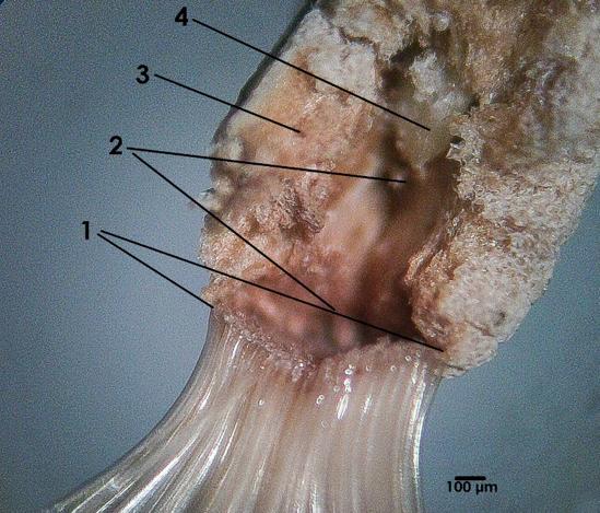 Тангентальний зріз зони мікропіле A. obesum