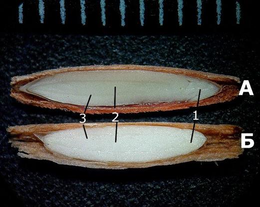Поздовжній зріз зародків досліджуваних рослин