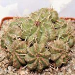 Euphorbia meloformis 2 300 12x12 sm 10 голов
