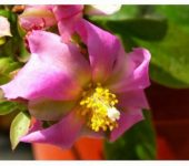 PERESKIA grandifolia (grandiflora)