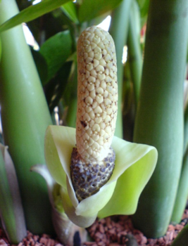 Соцветие и плод Z. zamiifolia