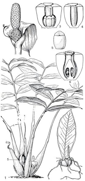 Z-zamiifolia