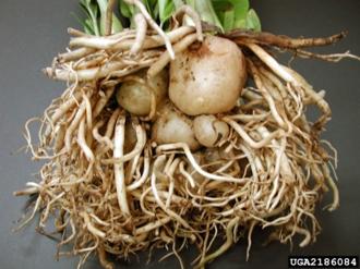 Укореняющиеся листья и корневая система замиокулькаса