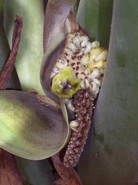 плод Zamioculcas zamiifolia