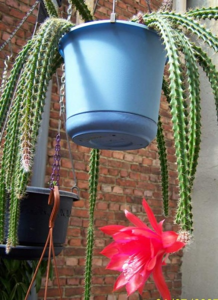 Aporocactus x mallisonii