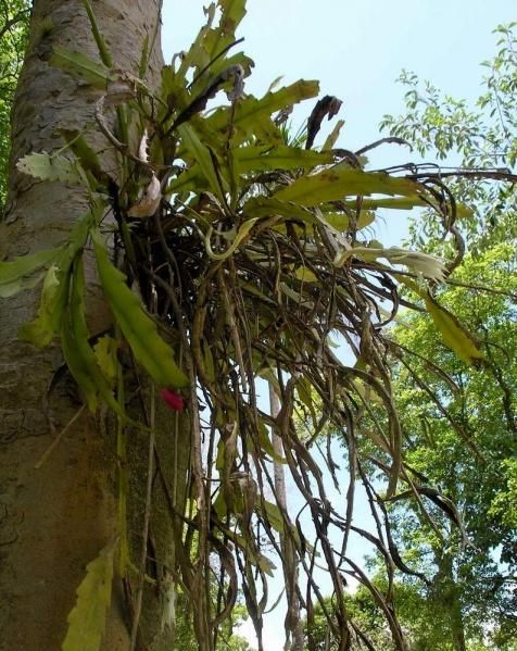Epiphyllum hookeri в природе