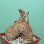 Monadenium crispum 1200 7x7
